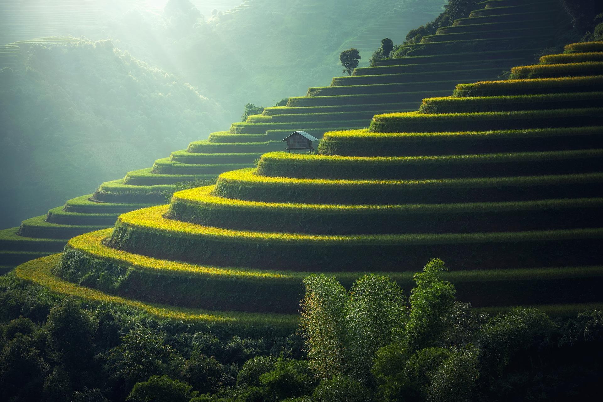 Ryžová plantáž v Thajsku